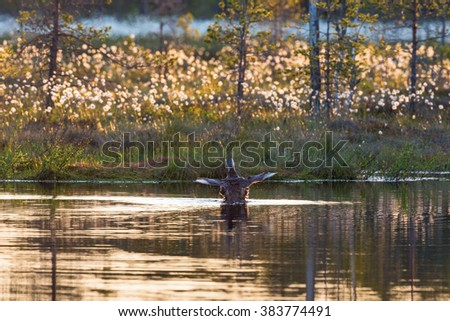 Red throated loon with spread wings in a lake - stock photo