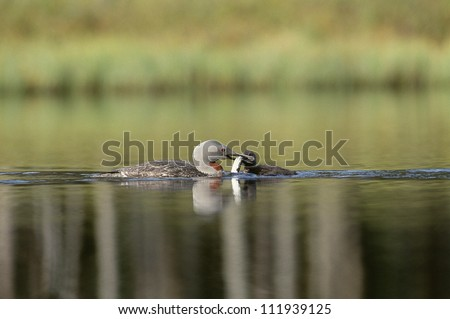 Red-throated loons swimming in lake