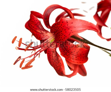 red tiger lily isolated on white background - stock photo