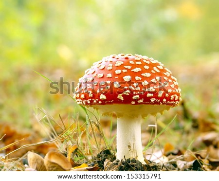 red toadstool in the forest  - stock photo