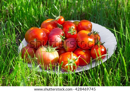 Red tomato in white bowl at the garden outside with lawn - stock photo
