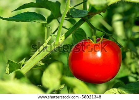 Red tomato on plant.