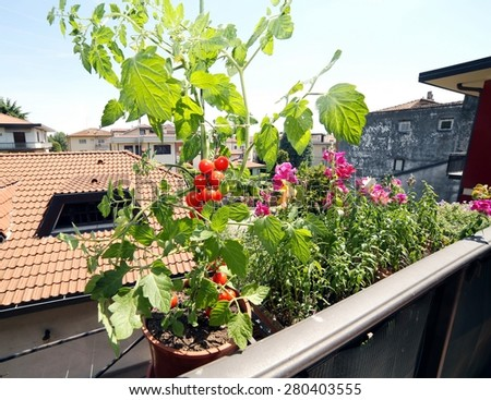 red tomato plant in the balcony of a house - stock photo