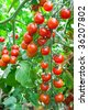 Red tomatoes growing in hothouse. Ripe tomatoes on a background a green-leaf - stock photo