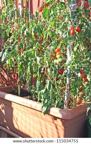 red tomatoes grown in a pot on a terrace of an apartment building in the city - stock photo