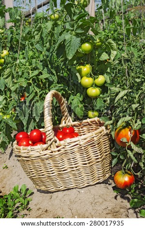 Red tomatoes in a wicker basket in the garden - stock photo
