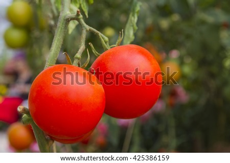 Red tomatoes in the garden - stock photo