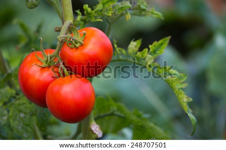 Red tomatoes on the branch with blurred green background - stock photo
