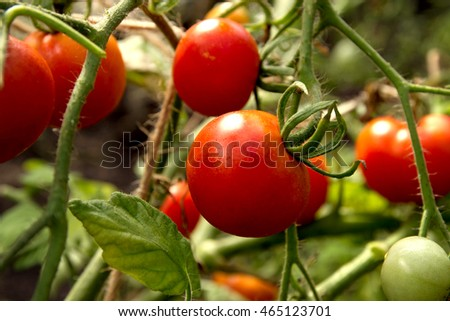Red tomatoes on tomato tree