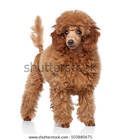 Red Toy Poodle puppy (five months) on a white background - stock photo