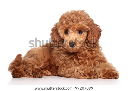 Red toy poodle puppy (2 month) lying on a white background