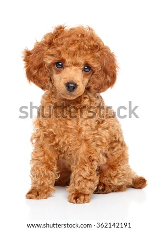Red Toy Poodle puppy sits on white background - stock photo