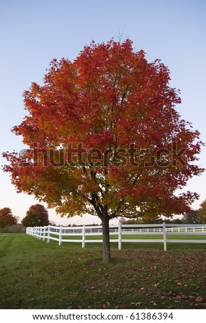 red tree in field with white fence at dusk during autumn, Vermont, USA - stock photo