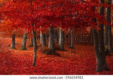 Red trees in the forest during fall  - stock photo