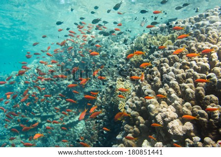 Red tropical fish on a background of a coral reef of the Red Sea