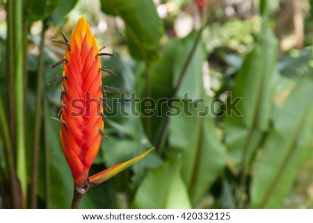 Red tropical flower Heliconia epicopalis vellozo, flora of Bolivia - stock photo
