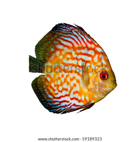 Red tropical Symphysodon discus fish isolated on white - stock photo