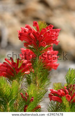 red tubular flowers of  Adenanthos Albany Woollybush.  Excellent shrub or small tree with silky hairs on foliage - soft to touch - for gardens, windbreaks or  soft foilage alternative Christmas tree. - stock photo