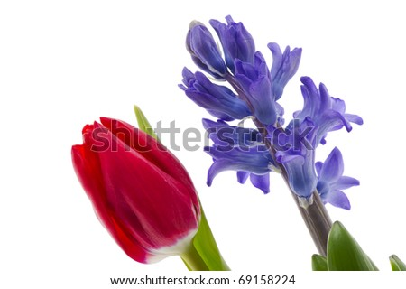 Red tulip and purple Hyacinth in spring isolated over white