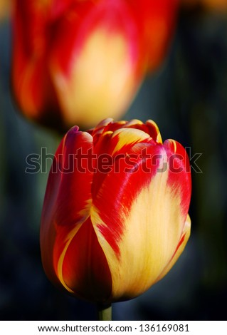 Red Tulip Blossom - stock photo
