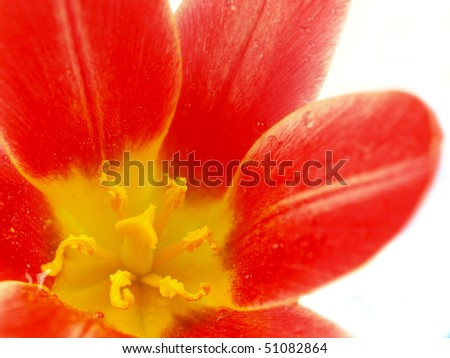 red tulip blossom detail - stock photo