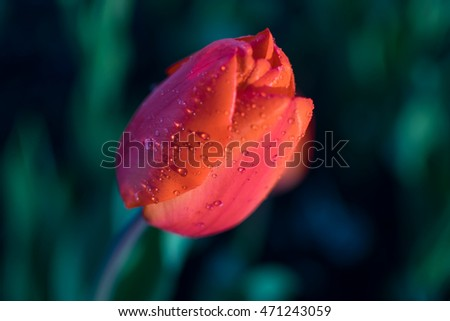 red tulip close-up with water drops on petals