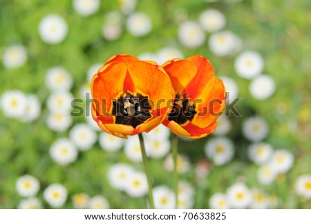 Red tulip double on daisy background - stock photo