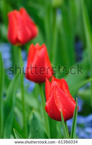 red tulip field in sea bird island, british columbia, canada - stock photo