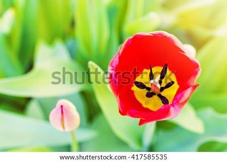 red tulip flower blossom with copy space - stock photo