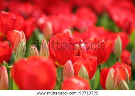 Red tulip flower filed - stock photo