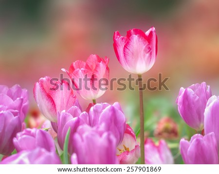 red tulip flowers on the garden, outdoor park - stock photo