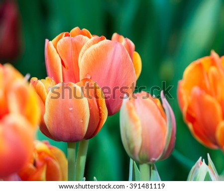 Red tulip flowers. Spring background. Shallow depth of field. Soft focus. - stock photo