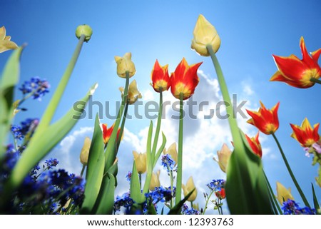 red tulip garden outdoor blue sky sunshine flower bloom blossom - stock photo
