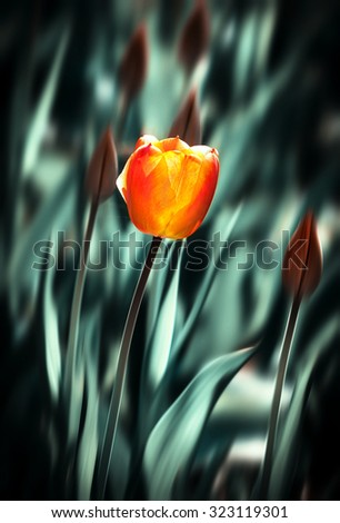 Red tulip in a bright sunny day in the garden on blurred background - stock photo