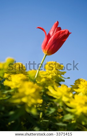Red tulip in middle of yellow flowers