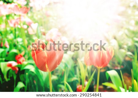 Red tulip in misty purple morning light - stock photo