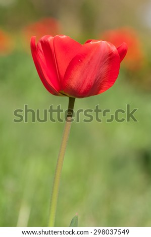 red Tulip in nature - stock photo