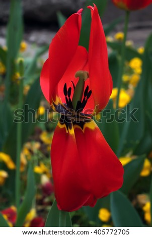 Red tulip in the garden with open petals and pestle - stock photo