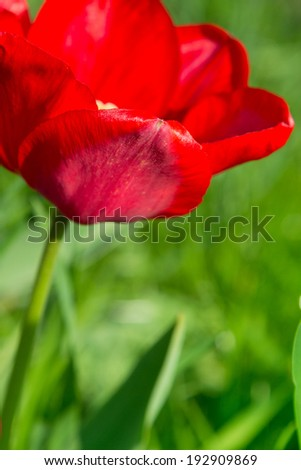 Red tulip in the spring sunshine - selective focus - stock photo
