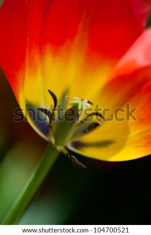 red tulip in Town Garden, Spring, close-up - stock photo