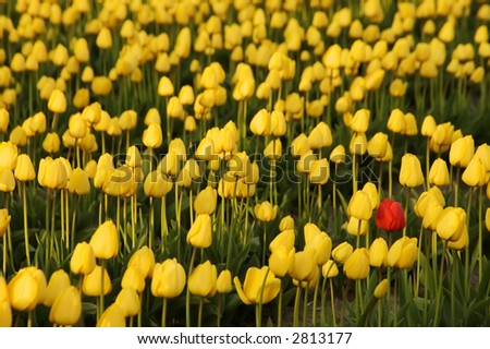Red tulip standing out from the crowd - stock photo