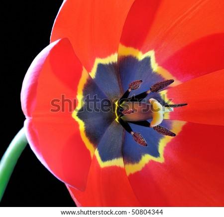Red Tulip (Tulipa) - Liliaceae - stock photo