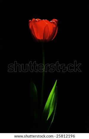 Red tulipe glowing in the dark. - stock photo