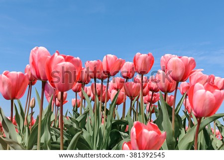 Red tulips against blue sky background - stock photo