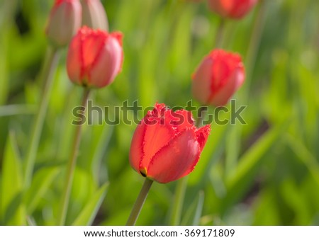 red tulips blooming in spring close up