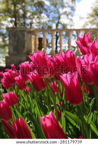 Red tulips blossoming in spring sunlight near garden terrace - stock photo