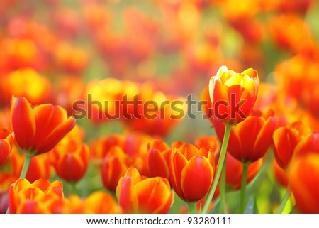 Red Tulips field - stock photo