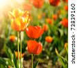Red tulips field, Shallow DOF. Spring background - stock photo