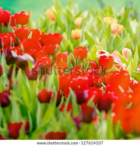 Red tulips flowers in the garden.
