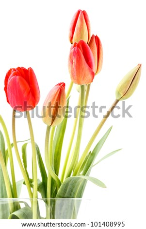 Red tulips in a vase with white background.